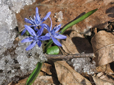 Viorea Scilla bifolia