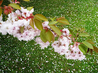 Petals on grass below bough of pink blossom