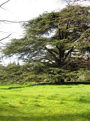 Cedar in Jephson Gardens