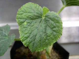 Virus-infected leaf