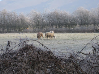 Sheep in a frosty field