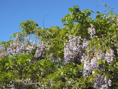 Blue sky and wisteria