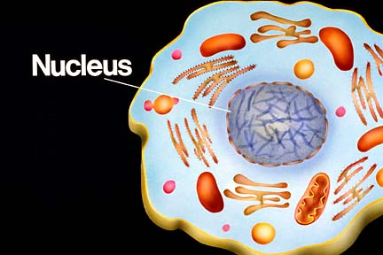 "The nucleus is the ""control center"" of a cell."