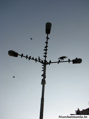 pigeons on a street light near kabutar khana