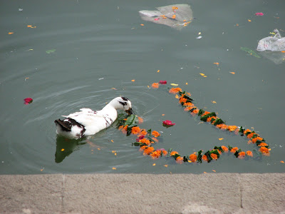 Duck in Banganga tank