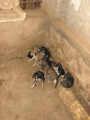 Litter of Caravan Hound at Karjat dog farm