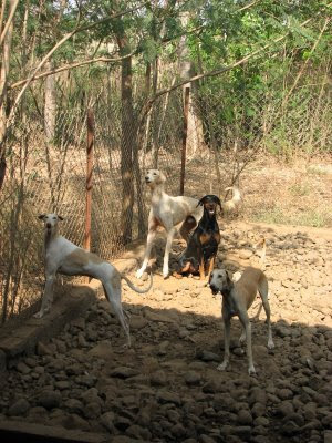 Mudhol Hound and Doberman in dog farm
