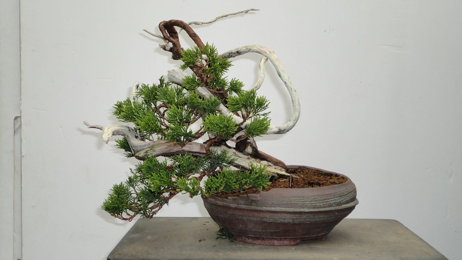 Bonsai Blog Of Sndor Papp Wiring Cobra Shinpaku Cypress