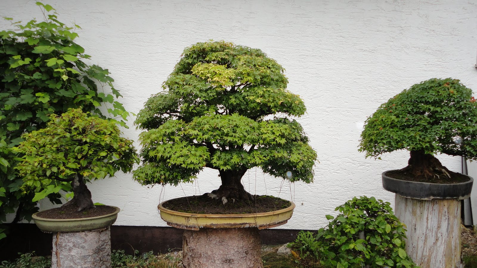 Bonsai Blog Of Sndor Papp BACK FROM WALTER PALL THEGARDEN