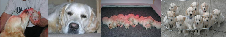 Amistadleal Golden Retrievers