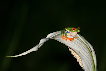 Red Eyed Tree Frog in the Swamp