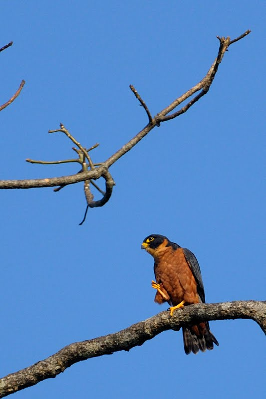 Falconiformes. sub Falconidae - sub fam Falconinae - gênero Falco - Página 3 OH+4612