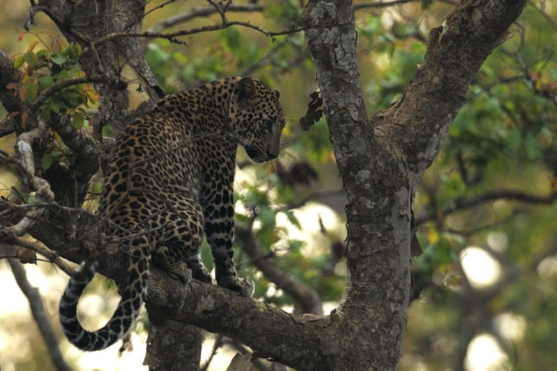 Animal pictures - Leopard