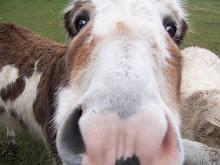 Nosy donkey