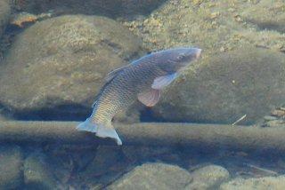 透き通った川を泳ぐフナの写真
