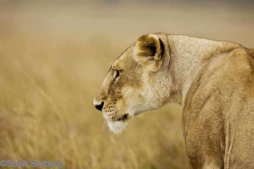 Lioness Arising Quotes. QuotesGram