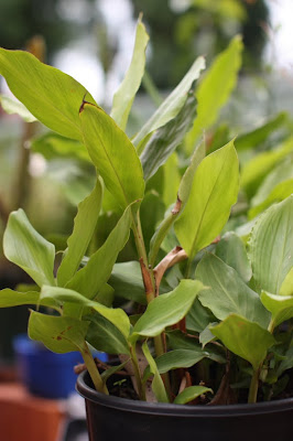 grow cardamom in container garden