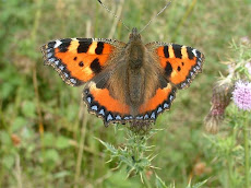 Small Tortoisehell taken at Calf Hey