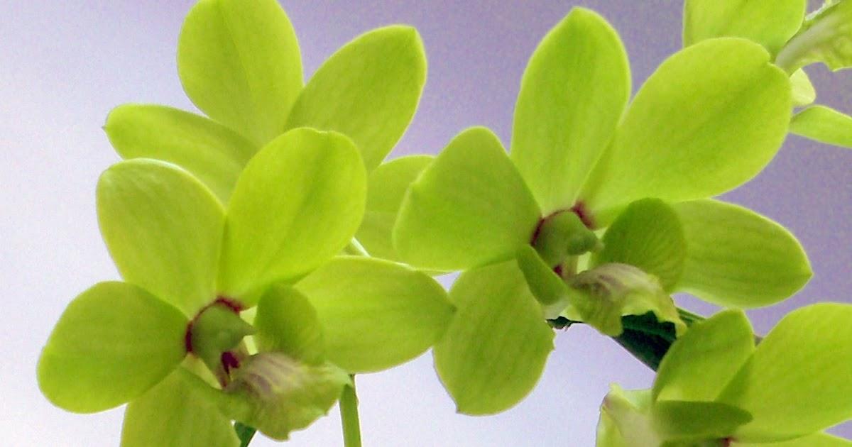Todo orquideas - All orchids Cultivo in vitro: ORQUÍDEAS ...