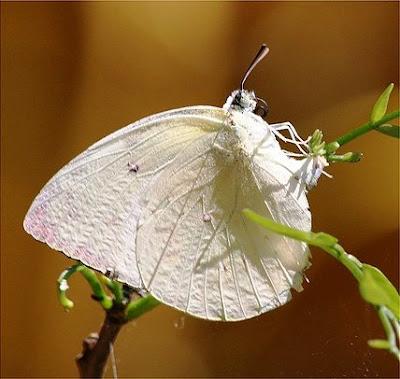 Tanda didatangi Kupu-kupu putih