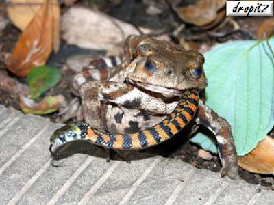 toad-eats-snake - All you can eat - Weird and Extreme