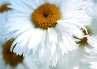 Giant Daisies and Editted Versions