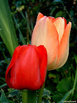 Tulipa - A flor do Parkinson