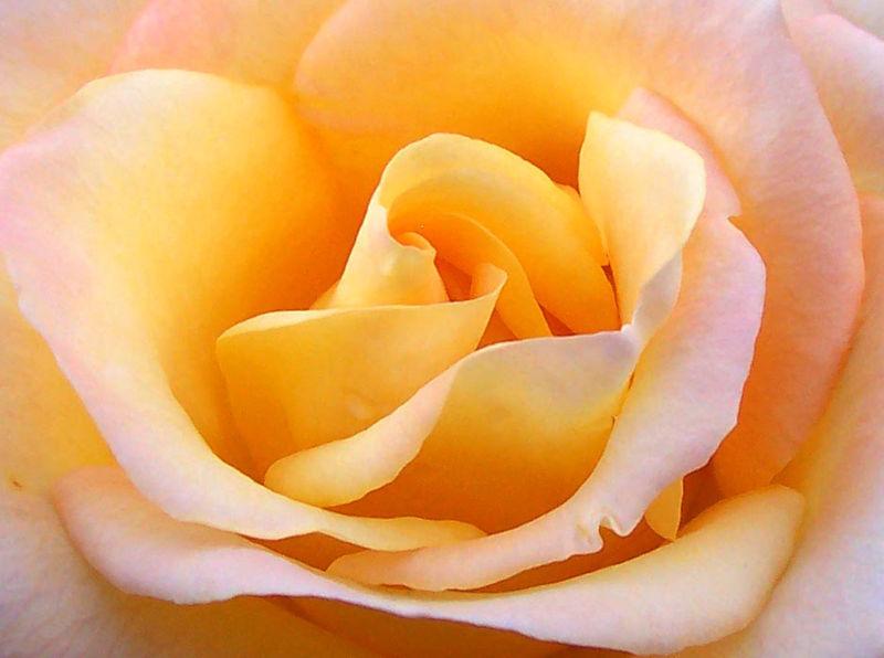 yellow rose 2011 pics