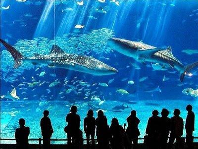 http://3.bp.blogspot.com/_My8MjS3RDbM/SfJ3RrscSVI/AAAAAAAADng/WrM3ZgCQJsk/s400/okinawa_churaumi_aquarium_04_45.jpg