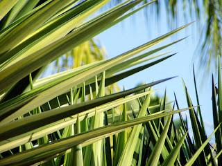 Morning Yucca