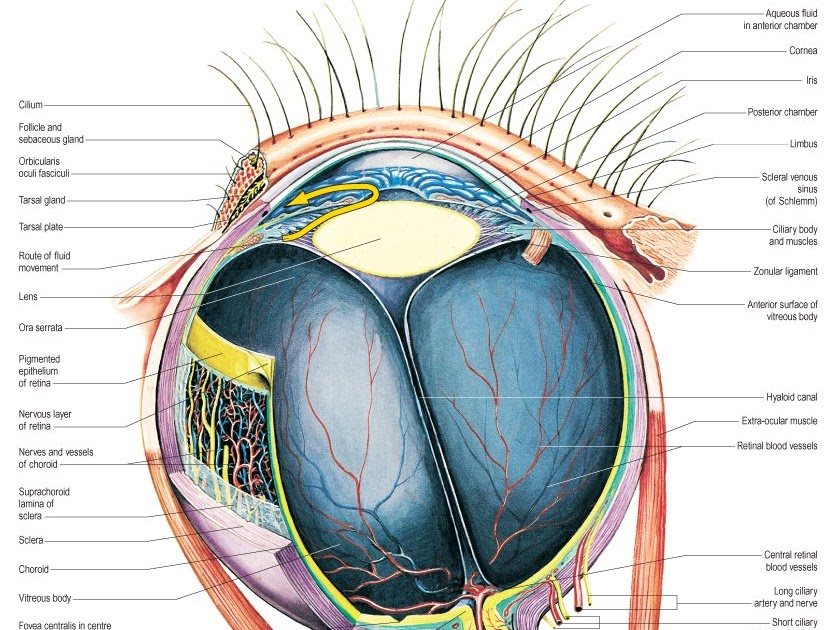 Medical Textbook in The Net: Eye Anatomy