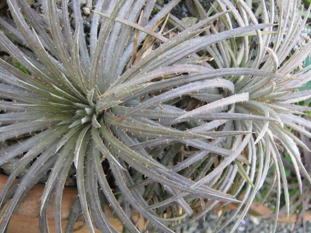 Dyckia julianae... or something in between Dyckia hebdingii and Dyckia choristaminea