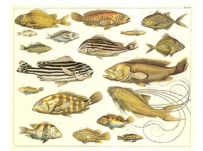 NATURAL CURIOSITIES FROM THE CABINET OF ALBERTUS SEBA. TROPICAL FISH FROM  THE ATLANTIC AND INDO WEST PACIFIC.