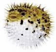 Strange Food Fugu