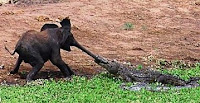 elephant-vs-crocodile