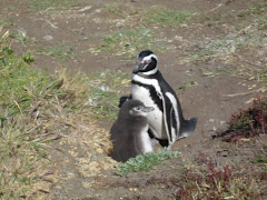 Penguins in Punta Arenas, Chile
