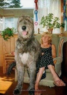 Anjing Terbesar urutan 2