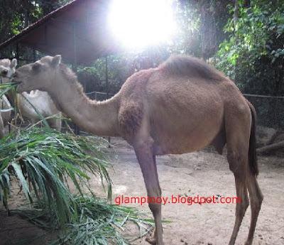 Zoobic Camel