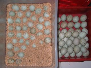 artikel cara membuat telur asin - Kumpulan Berita Terbaru