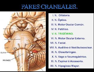 Novadens servicios odontol gicos pares craneales for 12 paredes craneales