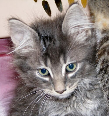 A very beautiful long hair tabby male kitten, neutered today.
