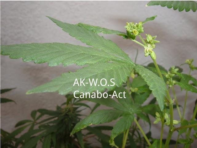 planta marihuana macho