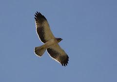 Águila fotografiada en LOS RANDEROS