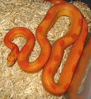 Fluorescent Orange Corn Snake The Okeetee Cornsnake