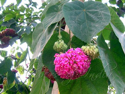 Flower the pink ball dombeya is a small tree with large heart shaped toothed leaves and dense heads of little pink flowers which hang from foot long stalks mightylinksfo