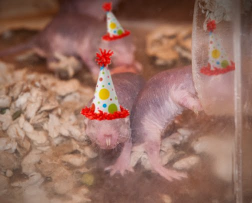 Pacific Science Center Life Sciences: Life as a baby naked mole rat