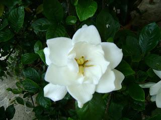 Gardenia de Ziza