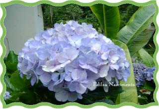 Jardim- hydrangea macrophylla