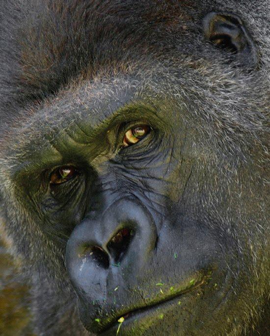 koko the gorilla - photo #14