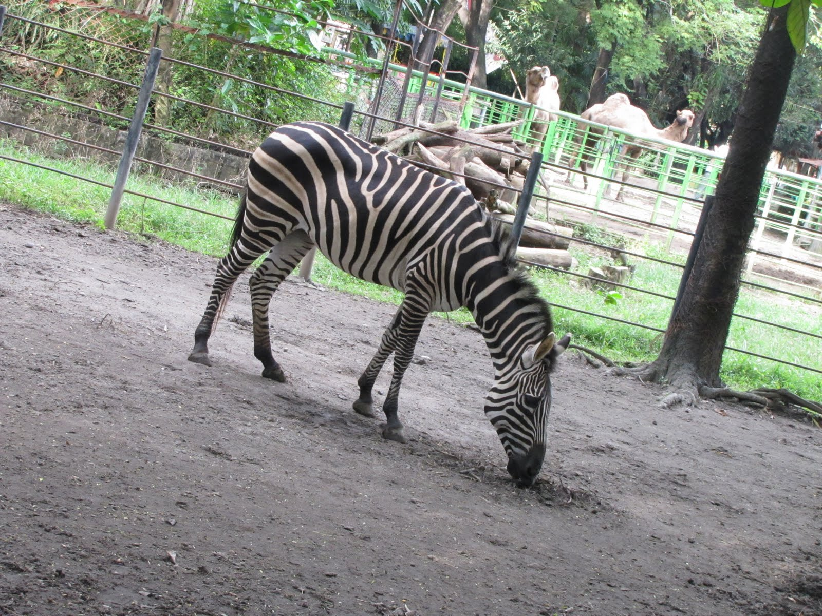 zebra a unique white and black stripes encyclopedia of animal. Black Bedroom Furniture Sets. Home Design Ideas